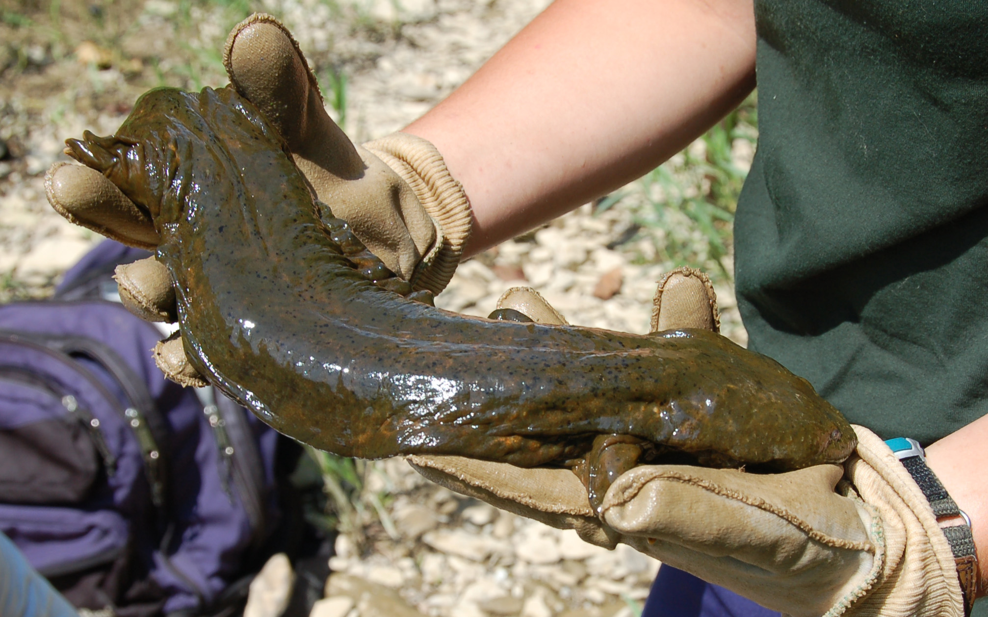 Is it a Hellbender or Mudpuppy?